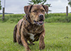 Broesel Boxer-Mix